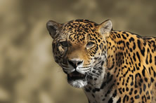 Brazil: Land of the Jaguar