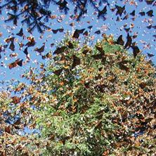 Mexico&#39;s Monarch Butterfly Trail