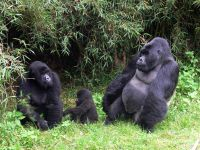 Gorilla Safari - Parc National Des Volcans