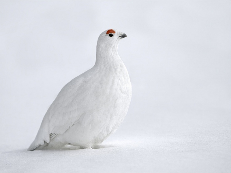 Willow grouse