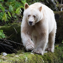 Bear Watching at Spirit Bear Lodge