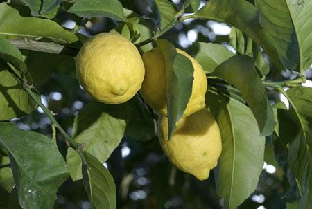 Naples lemons