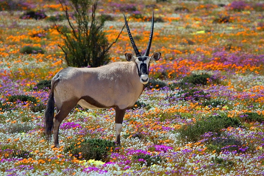 South Africa Namaqualand in spring