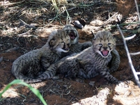 First cheetah cubs born wild in Namibia's Okonjima Nature Reserve