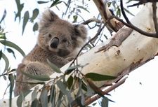 Where to spot koalas in Victoria