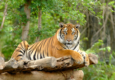 India tiger tourism ban lifted