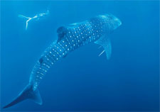Whale sharks on their way to Ningaloo
