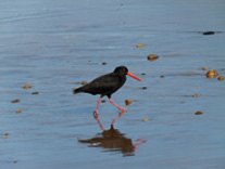 Reflective Oystercatcher, New Zealand by  Kim Horstmanshof