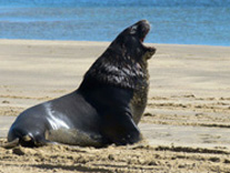 Surat Bay Sea Lion, New Zealand by  Kim Horstmanshof