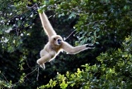 Gibbons, Malaysia by  Chong Keat Kim