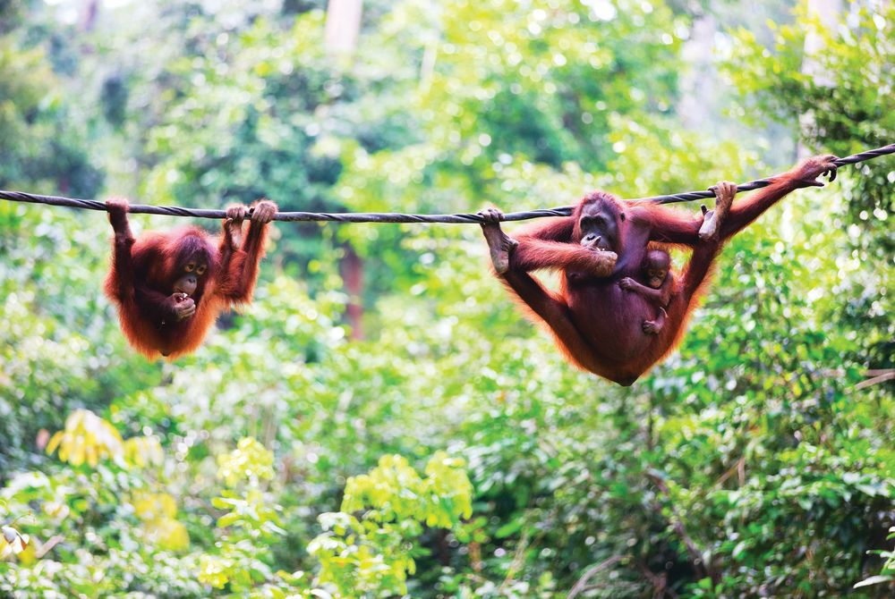 Mother, baby and child orangutans, Sabah