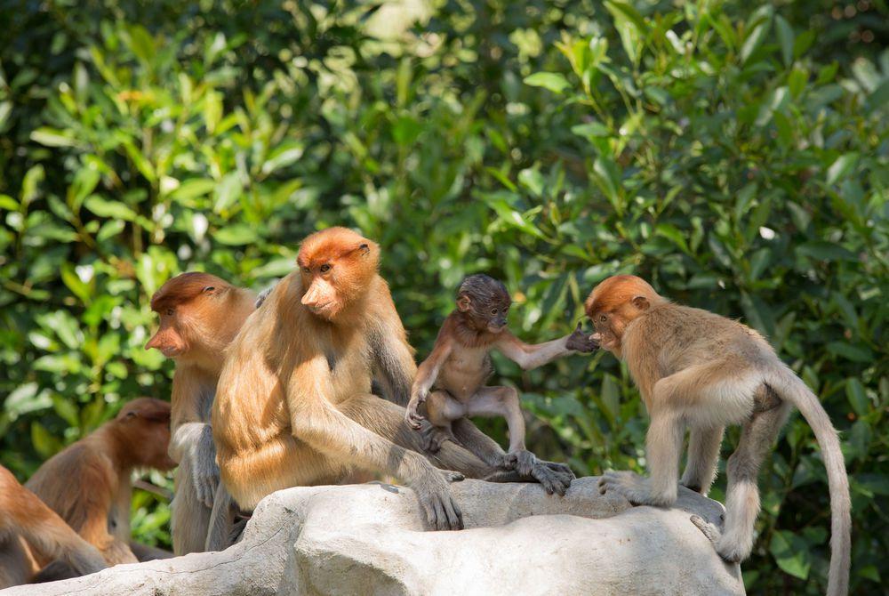 Proboscis monkeys, Labuk, Sandakan