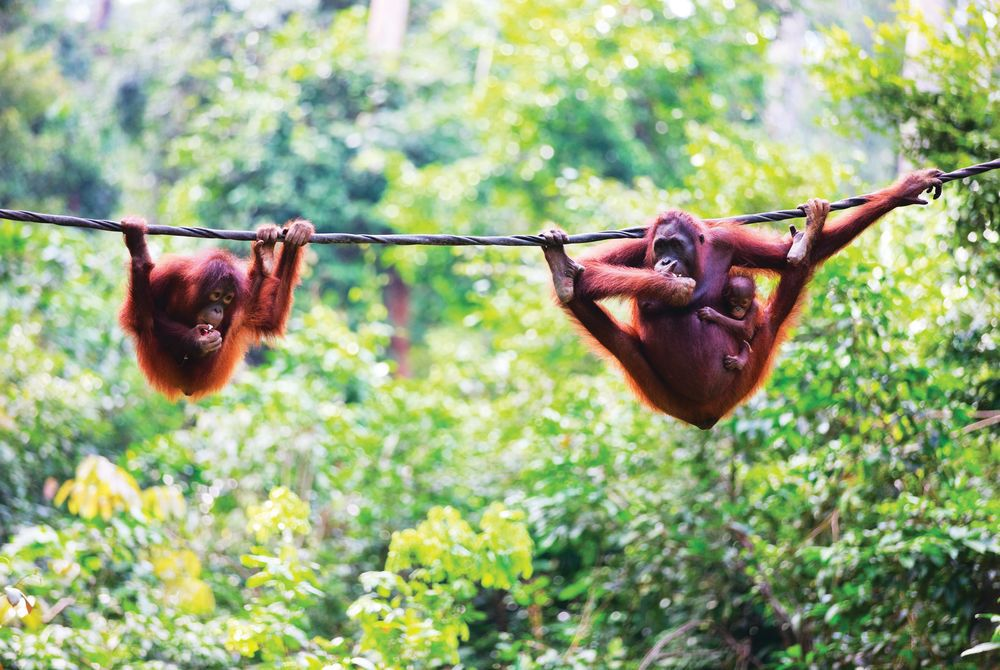 Mother, baby and child orangutans, Sabah, Borneo, Malaysian