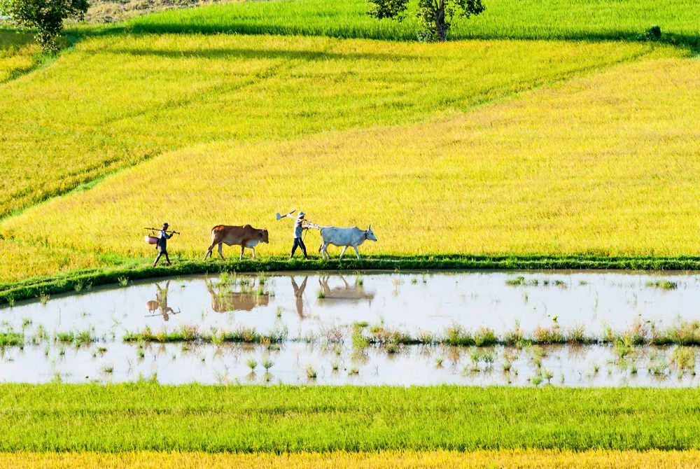 Rice Culture, Mekong Delta, Vietnam