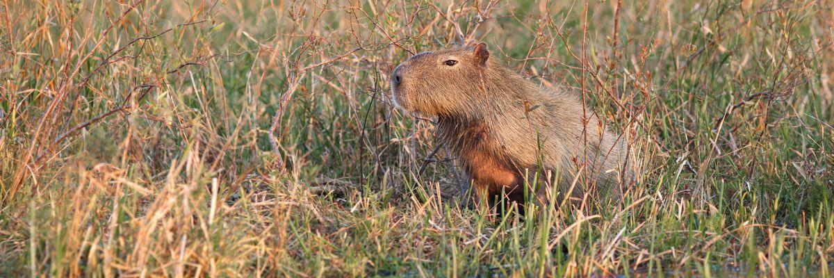 Capybara, Iberá Wetlands