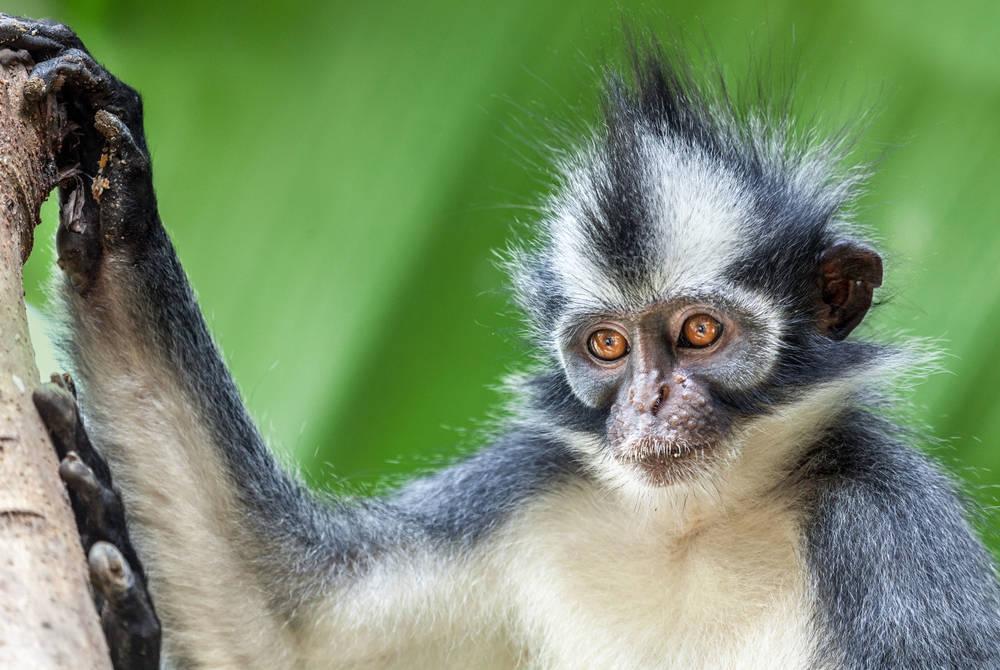 Thomas's Leaf Monkey, Aceh, Indonesia
