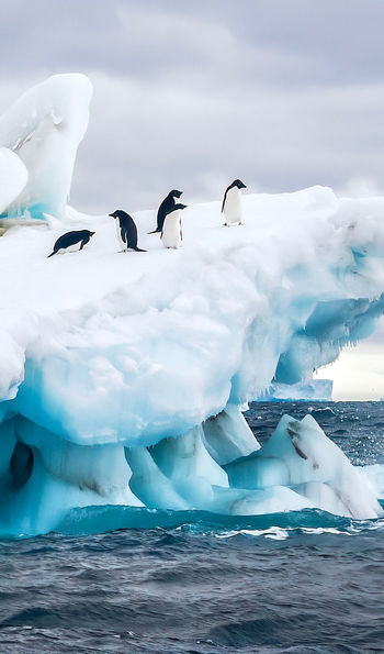 Adélie penguins, Antarctic