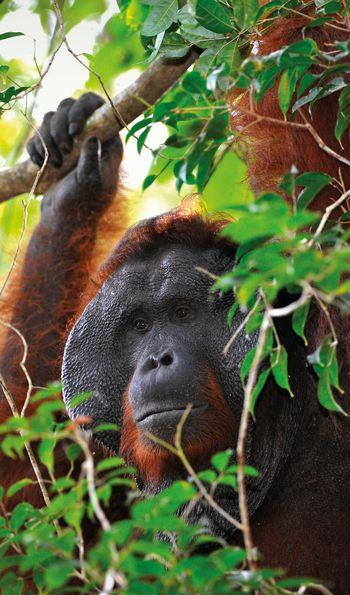 Adult male orangutan Kalimantan, Borneo, Indonesia