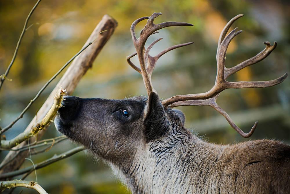 Adult reindeer, Swedish Lapland