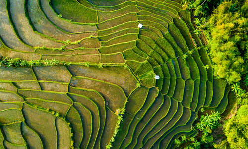 Aerial view of rice paddies