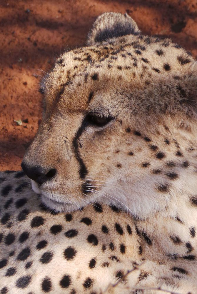 Alison Nicolle's cheetah photo taken in South Africa
