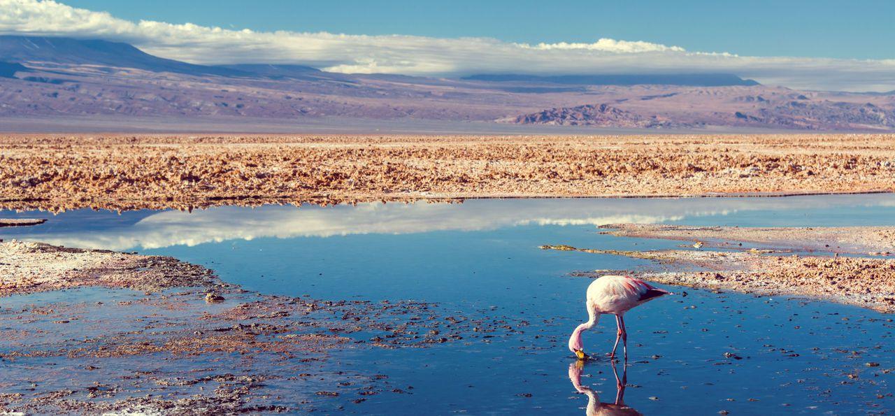 Andean Flamingo near San Pedro de Atacama