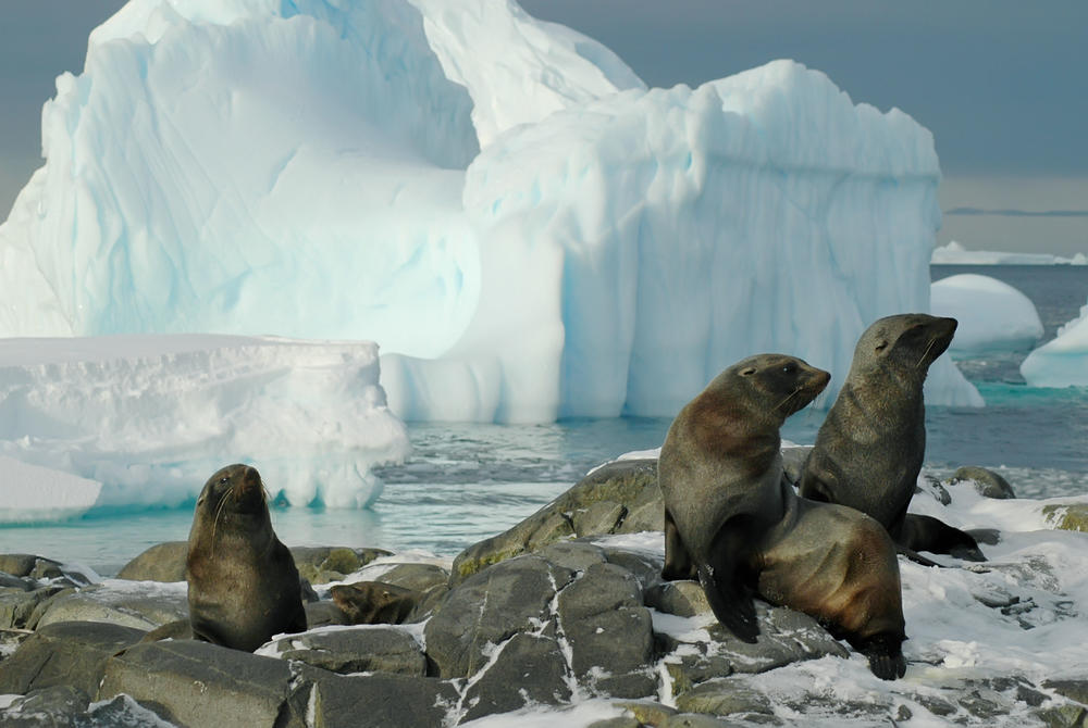Seals basking on rocks in Antarctica