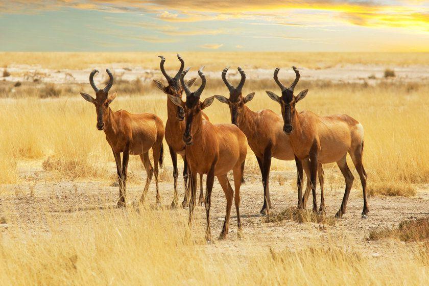 Antelopes, Kenya