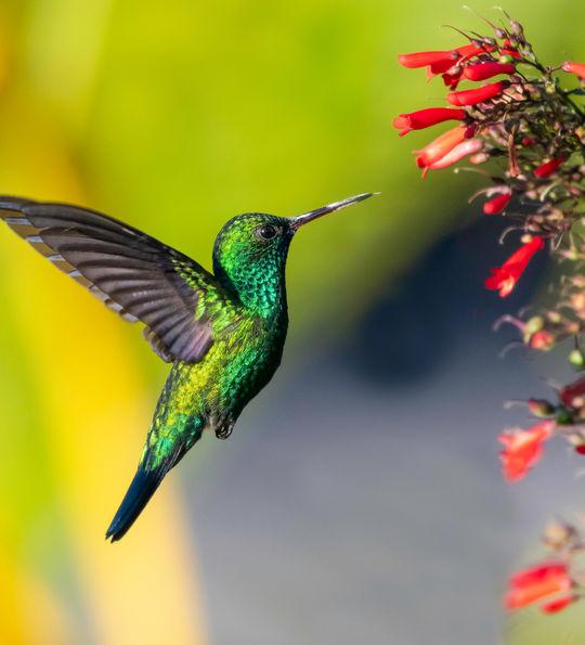 Hummingbird, Antigua