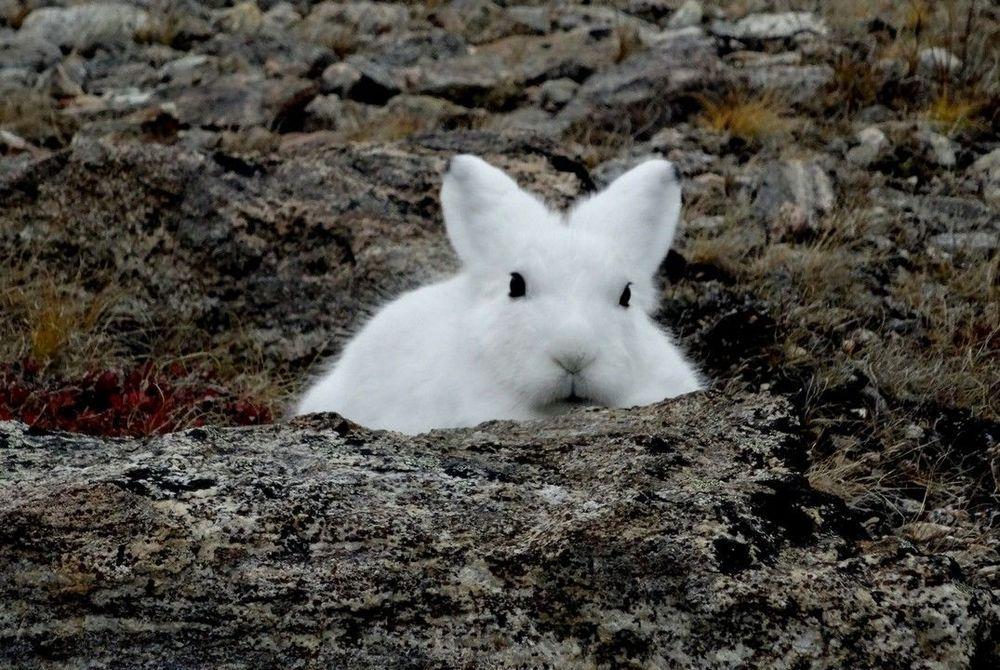 Arctic Hare, Greenland