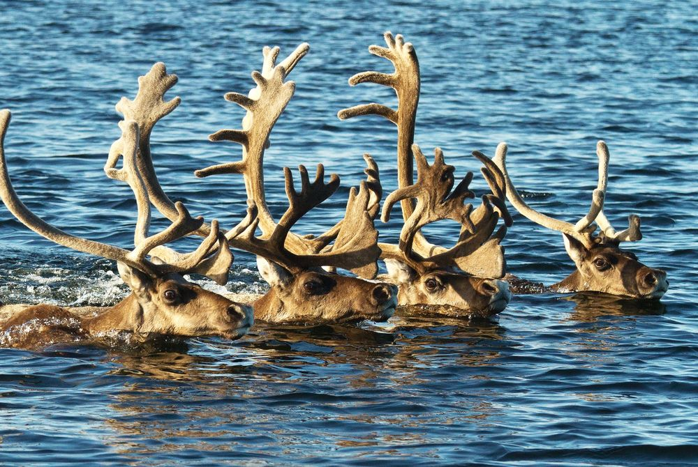 Caribou Migration at Arctic Haven Wilderness Lodge