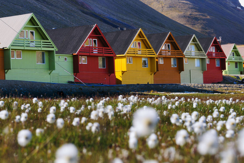 Arctic flowers in summer, Longyearbyen