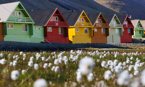 Arctic flowers & colourful houses in summer, Longyearbyen