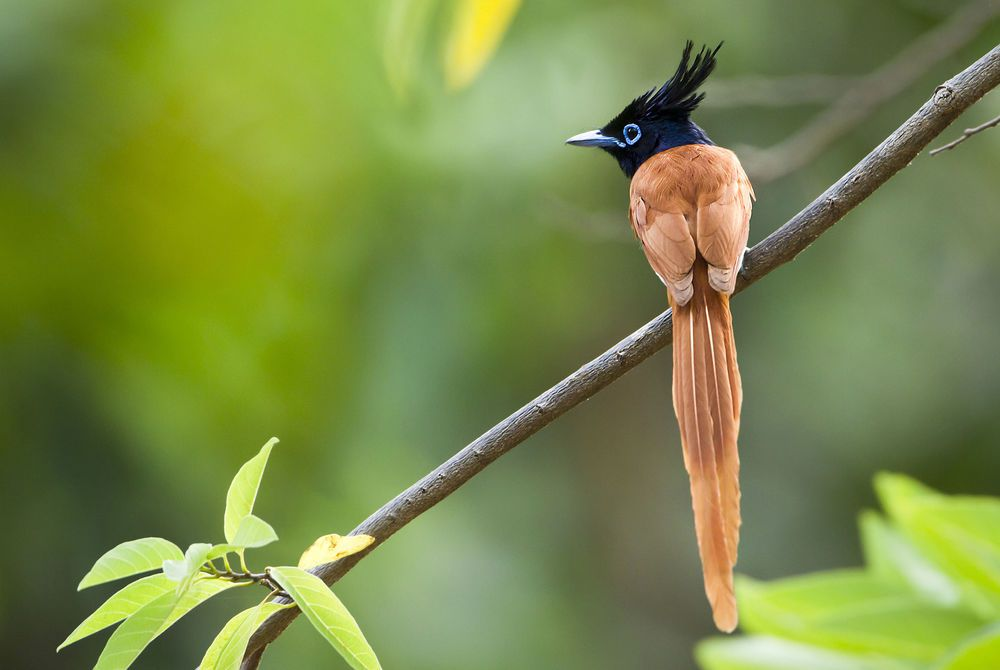 Asian Paradise Flycatcher (Terpsiphone Paradisi), Minneriya National Park