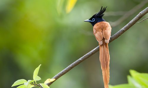 Asian Paradise Flycatcher (Terpsiphone Paradisi), Minneriya National Park