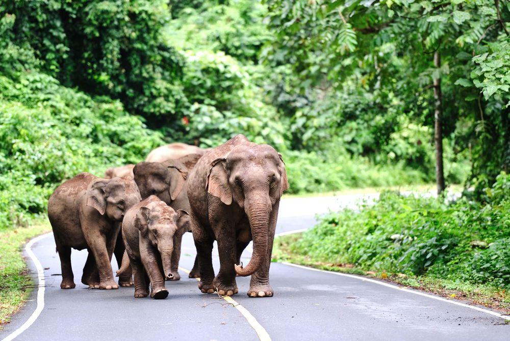 Asian elephants in Khao Yai National Park, Thailand