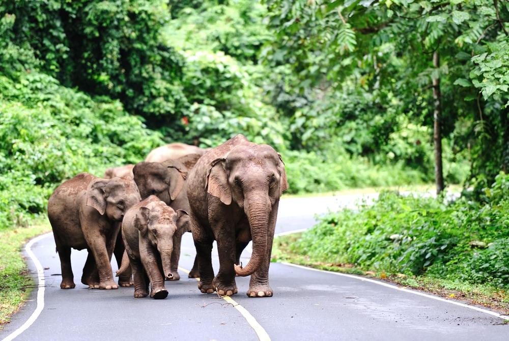 Asian elephants, Khao Yai National Park