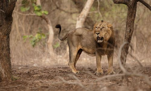 Asiatic lion male in the nature habitat in Gir National Park, Gujrat, India