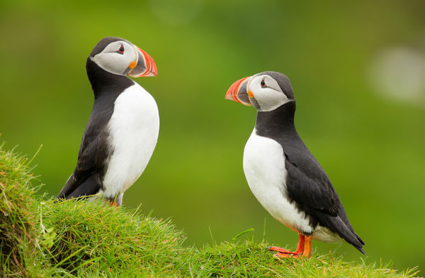 Whales & puffins in Iceland