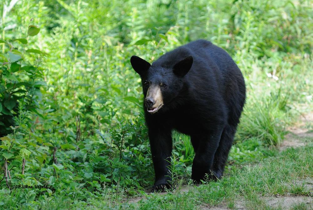 Black bear near Lac-a-L'eau-Claire, Québec