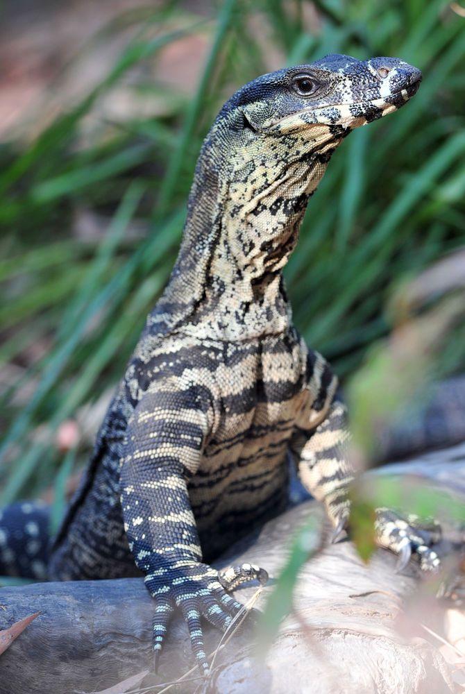 Australian lace monitor or Goanna, Perth, Australia