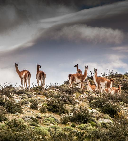 Guanacos near Awasi Patagonia