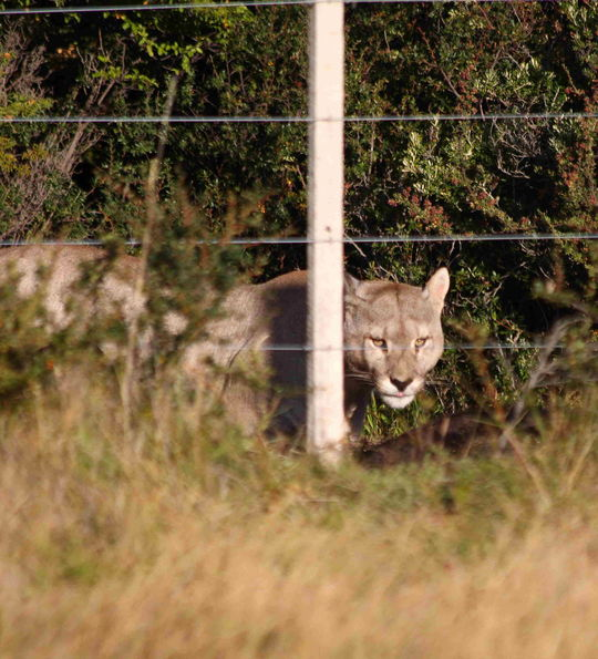 Awasi Patagonia – Pumas are sometimes spotted near the lodge
