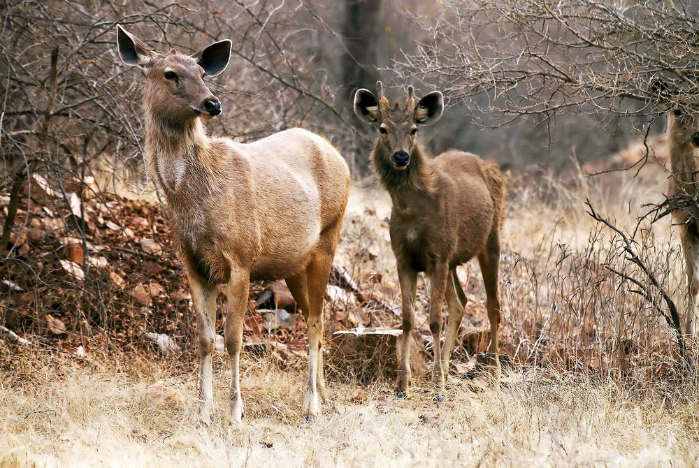 Axis Deer, Ranthambore National Park