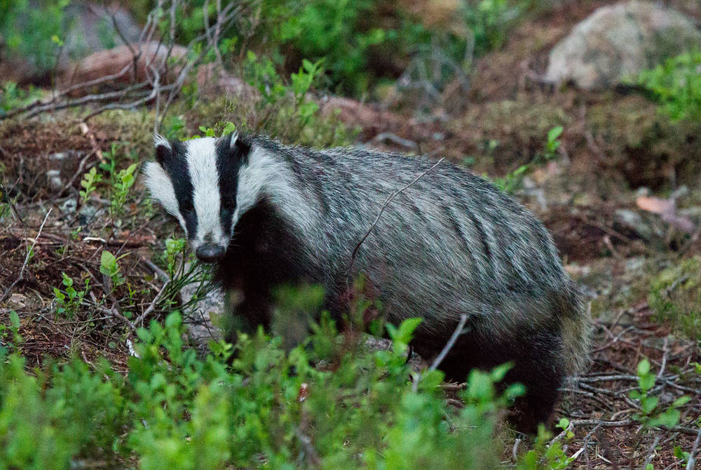 Badger watching (Credit: Sara Wennerqvist)