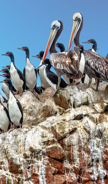 Birdlife on the Ballestas Islands, Peru