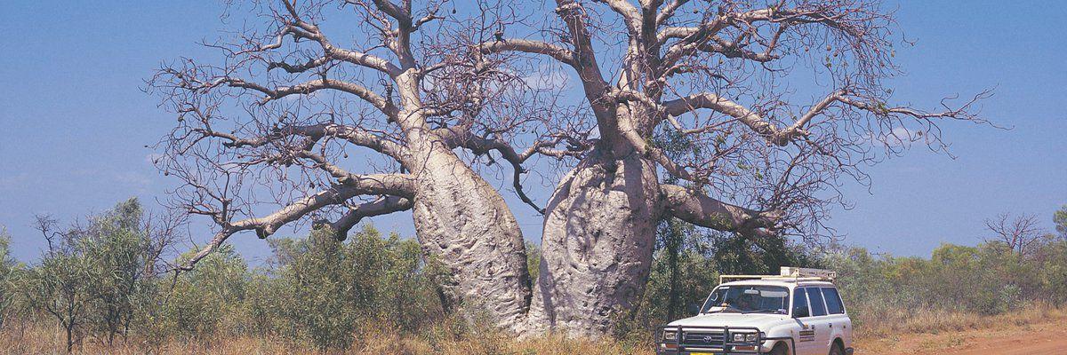 Baob Tree, Gibb River, Western Australia, Australia