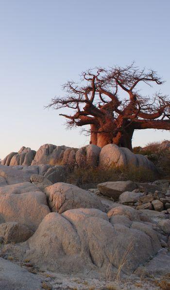 Baobab in Lekhubu island, Makgadikgadi