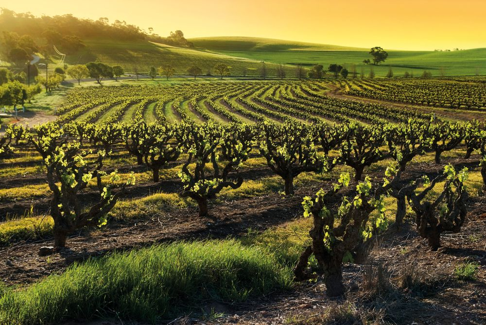 Barossa Valley Vineyard, South Australia