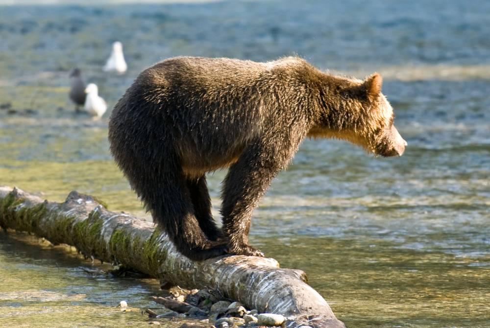 Bear, Sonora Resort